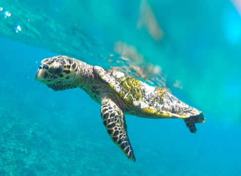Hawksbill Sea Turtle copyright Thomas Udhayasingh